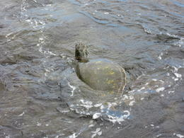 Lots of turtles foraging close to the beach , Paul K - December 2014
