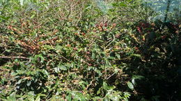 This is a photo of the coffee beans hanging on the bushes which people have to pick only the ripe onesone really needs to appreciate how hard this is to do. Each basket is 20 lbs and they get 2 per ... , LYNN B - January 2016