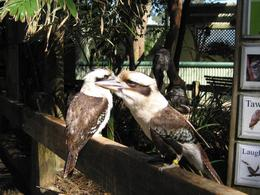 Kookaburra couple., Elizabeth M - October 2007