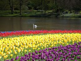 Photo of Amsterdam Keukenhof Gardens and Tulip Fields Tour from Amsterdam The swan with a wonderful view