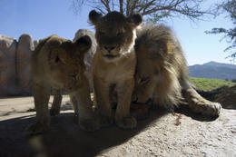 Photo of San Diego San Diego Zoo Safari Park Baby Lions