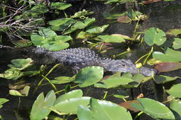 Alligator on Everglades air-boat ride , Elke S - February 2014