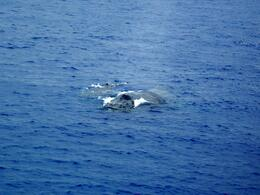 Photo of   Oahu Whale Watching: mama and baby whale