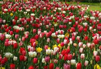 Photo of Amsterdam Keukenhof Gardens and Tulip Fields Tour from Amsterdam