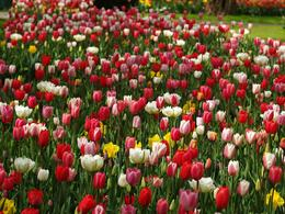 Photo of Amsterdam Keukenhof Gardens and Tulip Fields Tour from Amsterdam Mixed tulips