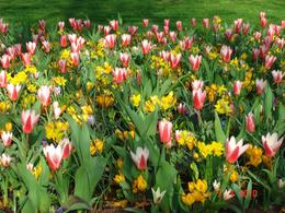 Photo of Amsterdam Keukenhof Gardens and Tulip Fields Tour from Amsterdam Daffodils