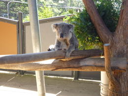 This was absolutely the cutest koala I have ever seen. We were able to get our picture taken with him. He is named after a pirate because he only has one eye. , Dusty B - February 2014