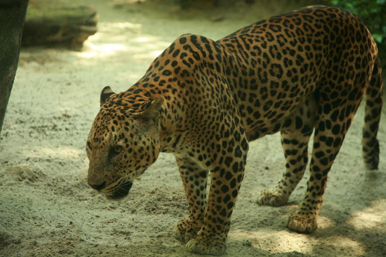 Big Cat: Singapore Zoo -