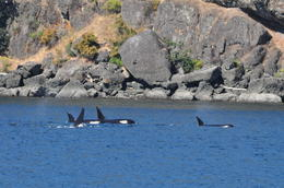 We saw two pods swimming leisurely around, along with seals and bald eagles , Bharat S - July 2013