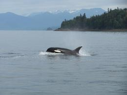 We didn't expect to see the orca's this time of year. This was a Bonus., Toni G - August 2010