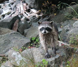 Photo of Seattle Tillicum Village Cultural Experience Baby raccoon