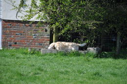 Photo of London Small-Group Day Trip to Stonehenge, Glastonbury and Avebury from London Labrador wallowing in trough at Avebury