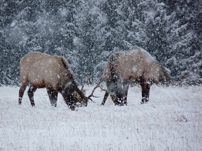 Elk at Banff - Banff
