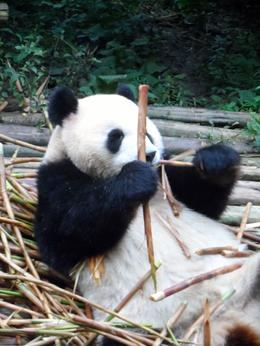 Photo of Chengdu Half-Day Chengdu Panda Breeding Center Tour with Optional Baby Panda Holding Oh great - more bamboo!