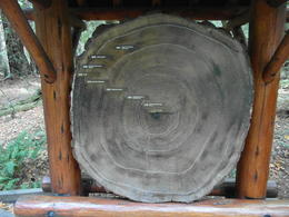 The rings of the Redwoods in relation to our key events in history over last 300 years! , Robin B - October 2013