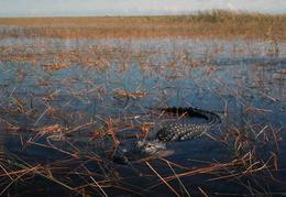 Gator at Sawgrass Recreation Park , E T - January 2015