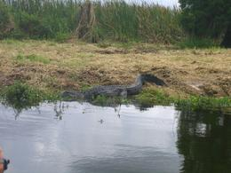 Photo of Everglades National Park Florida Airboat Adventure Close-up of the alligator!