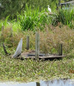 Photo of New Orleans Small-Group Swamp Boat Tour of Cajun Country from New Orleans Egret and Allegator