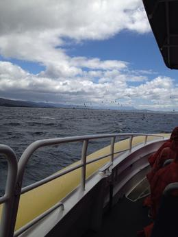 Photo of   shearwaters (birds) on way to Bruny Island.