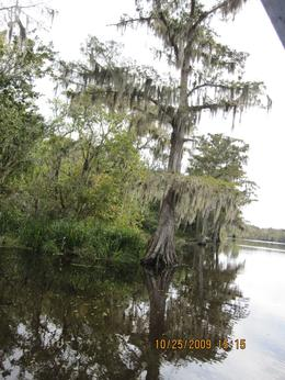 Photo of New Orleans Small-Group Swamp Boat Tour of Cajun Country from New Orleans Swamp tree