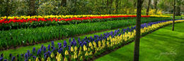 One of the best garden with straight lines of tulip , Zuraisham B - April 2011