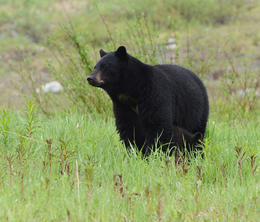First bear of the trip!, Jeff - August 2013