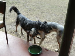 The two dogs who protect the Grampians accomodation , Iris D - January 2016
