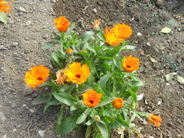 marigolds in Alcazar Gardens , clio_selene - April 2012