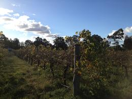 Hunter Valley vineyard, Cat - December 2013