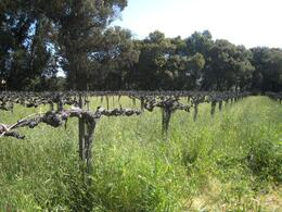 Vineyard at Madonna estate - April 2010