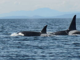 Whale watching trip from Vancouver, B.C.- , Debbie K - May 2016