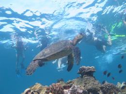 Photo of Maui Kayak and Snorkel - South Shore Turtle Picture with a turtle