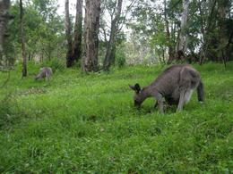 The open parkland is home to somewhat tame, but still wild, kangaroos., Niki W - November 2007