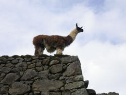 Llama checking out the scene., Rodrigo E - December 2011