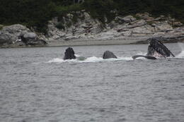 Whales bubble net feeding in Juneau, Alska , Robert W - July 2014