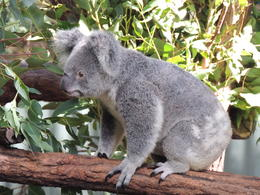 Photo of Brisbane Lone Pine Koala Sanctuary Admission with Brisbane River Cruise Lone Pine