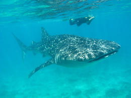 Snorkeling with Whale Shark - June 2011