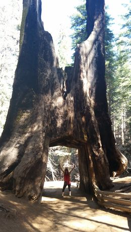 The famous giant sequoia tree! , Diana R - April 2015