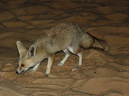 Friendly desertfox.... , MNHolland - September 2011