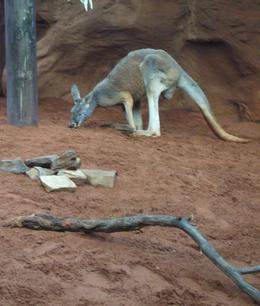 The Kangaroo uses its tail for balance. It can lean back on its tail and use its strong hind legs to defend itself. - August 2008