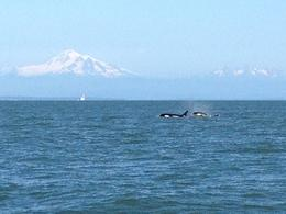 Photo of Vancouver Whale-Watching Tour from Vancouver Whales and mountains