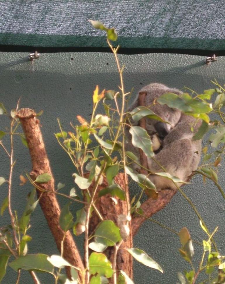 Another cute Koala - Sydney