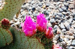 Photo of Las Vegas Death Valley Day Trip from Las Vegas Cactus Flower