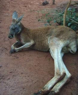 This Red Kangaroo was recently introduced to the exhibit - August 2008