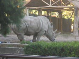 Huge rhino!, Bandit - June 2012