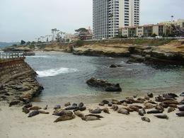 Seals lounging in La Jolla , Leah - May 2011