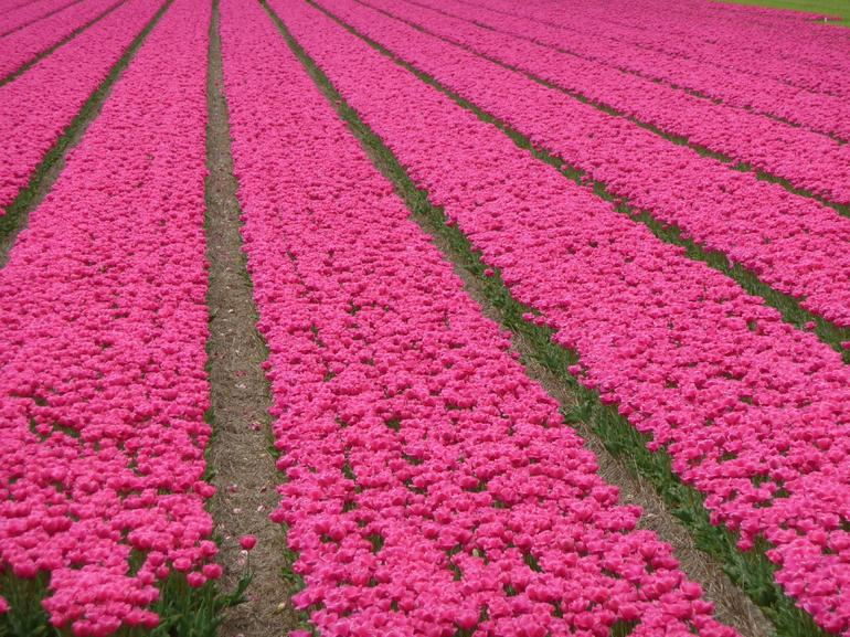 Tulip fields in bloom -