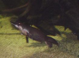 The platypus is one of natures oddest, yet most magnificent creatures! - August 2008