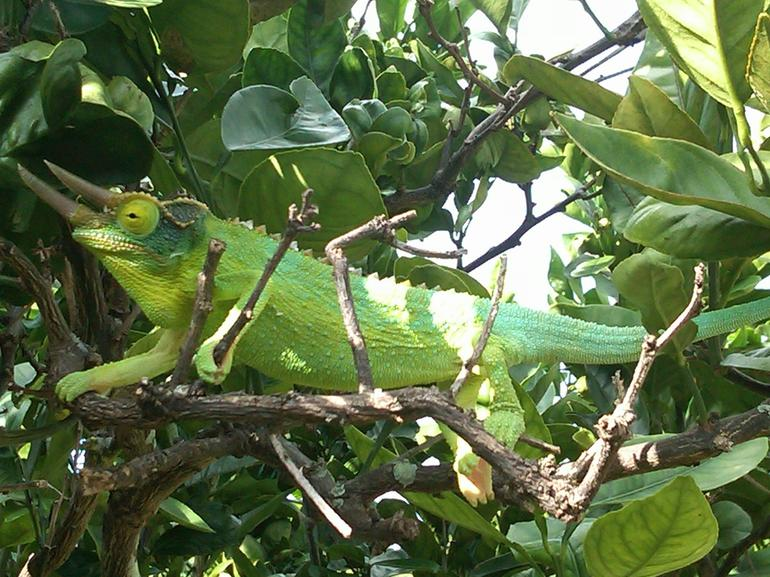 Our guide found this male (and several females) in the citrus tree next to the gift shop of the coffee plantation.