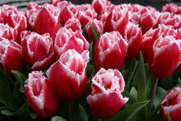 Tulip display at Keukenhof , sueg - May 2014